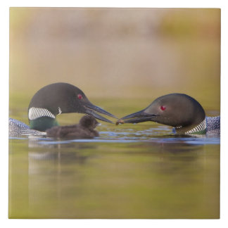 Canada, British Columbia,Common Loon, breeding Tile