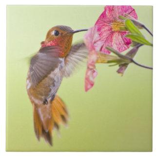 Canada, British Columbia, Rufous Hummingbird Ceramic Tiles