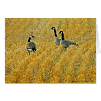 Canada Geese in wheat stubble Card