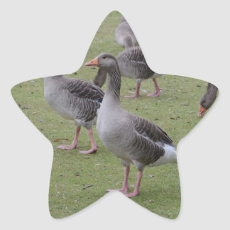 Canada Geese Star Stickers