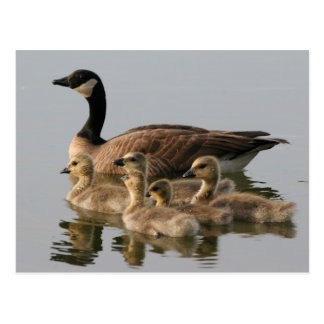 Canada Goose and her brood photo postcard