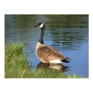Canada Goose Animal Art Postcard