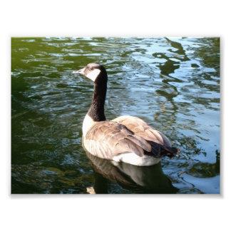 Canada Goose Closeup Art Photo