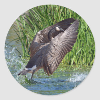 Canada Goose Coming in for a Landing Classic Round Sticker