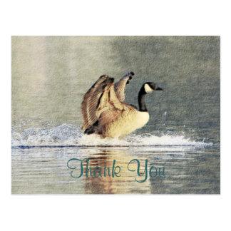 Canada Goose Landing Postcard