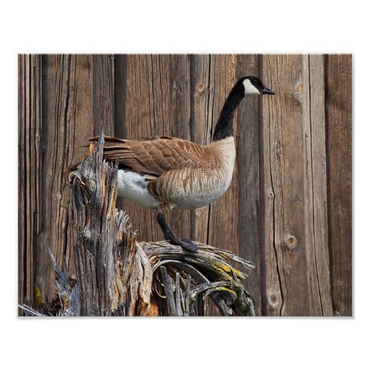 CANADA GOOSE ON BARN BOARD POSTER