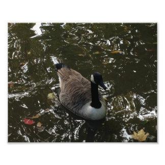 Canada Goose Photo Print