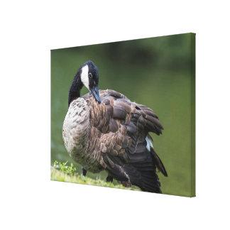 Canada Goose Preening Canvas Print