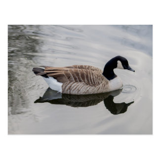 Canada Goose Swimming in vivid water Postcard