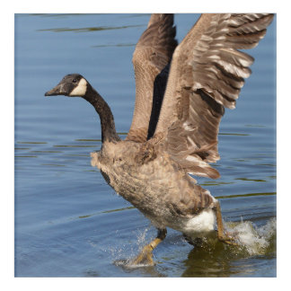 Canada Goose Taking Off Water Acrylic Print