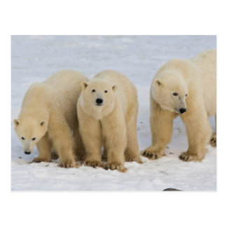 Canada, Hudson Bay. Polar bear mother with two Postcard