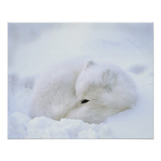 Canada, Manitoba, Churchill. Artic fox with Poster