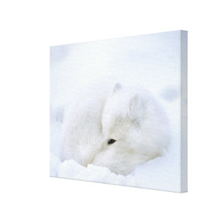 Canada, Manitoba, Churchill. Artic fox with Stretched Canvas Print