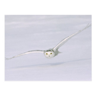 Canada, Quebec. Snowy owl flies low over snow. Postcard