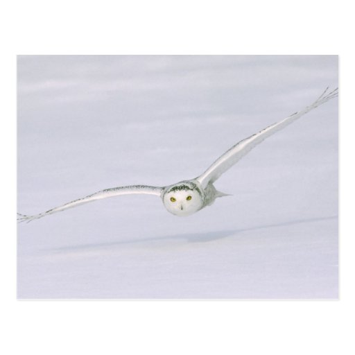 Canada, Quebec. Snowy owl flies low over snow. Post Cards