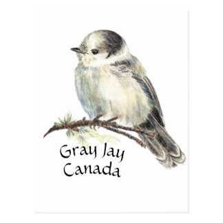 Canada's National Bird Gray Grey Jay, Whiskey Jack Postcard