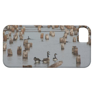 canadian geese at Ashland, WI iPhone 5 Cover