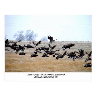 Canadian Geese | Hanford, Washington Postcard