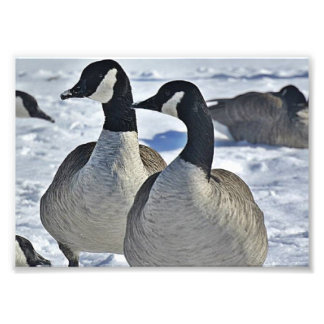 Canadian Geese in Winter Photo Print