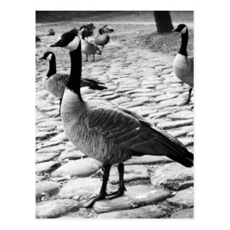 Canadian Geese Near The Lake Postcard