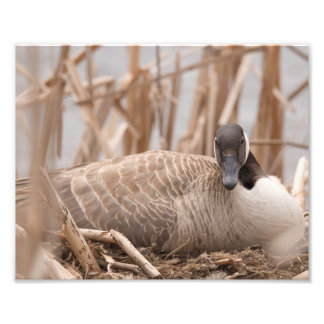Canadian Geese Nesting Photo Print