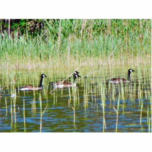 Canadian Geese Swimming Cut Outs