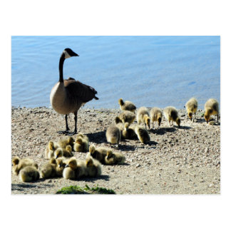 Canadian Geese With Mother Postcard