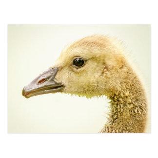Canadian Goose (Gosling) Postcard
