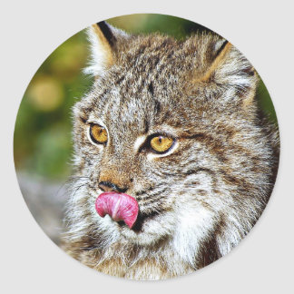 Canadian Lynx - Licking His Chops Classic Round Sticker