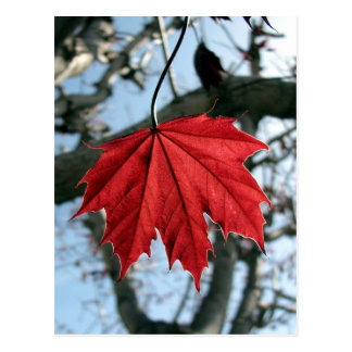 Canadian Maple Leaf Postcard