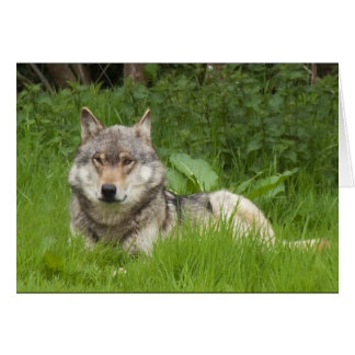 Canadian Wolf Card