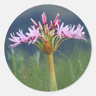 Candelabra Flower (Brunsvigia Radulosa), Umgeni Sticker