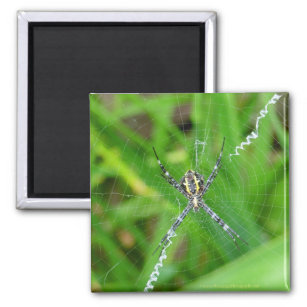 Cane spider - Big Island magnet
