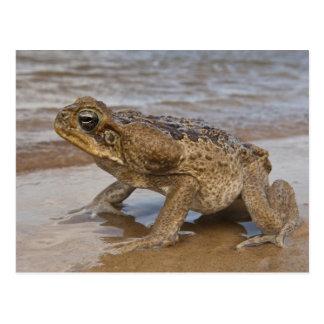 Cane Toad Rhinella marina, previously Bufo Postcard
