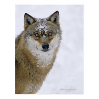 Canis lupus, Looking at Camera, Germany, Europa Postcard