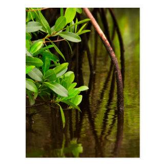 Canoeing Through Quiet Mangroves Postcard