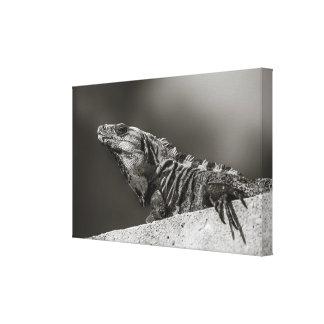 Canvas - Iguana on Wall - Riviera Maya, Mexico