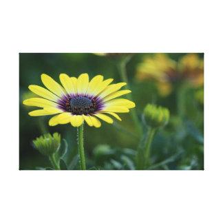 CANVAS PRINT - Yellow Osteospermum, Daisy like