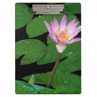 Cape Blue Water Lily (Nymphaea Capensis) Clipboard