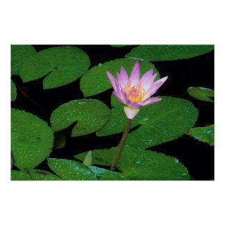 Cape Blue Water Lily (Nymphaea Capensis) Poster