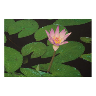 Cape Blue Water Lily (Nymphaea Capensis) Wood Canvas