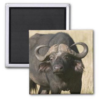 Cape Buffalo (Syncerus caffer), Masai Mara Square Magnet