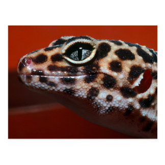 Cape Gecko (Pachydactylus Capensis) Profile Postcard