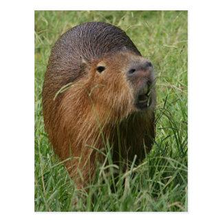 Caplin Rous eating Grass Postcard