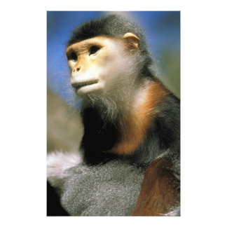 Captive douc langur, or pygathrix nemaeus photo print