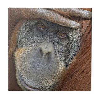 Captive female Sumatran Orangutan Ceramic Tiles