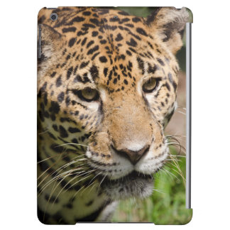 Captive jaguar in jungle enclosure 2 iPad air cover