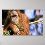 Captive orangutan, or pongo pygmaeus. 3 poster