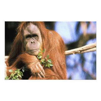 Captive orangutan, or pongo pygmaeus. photograph