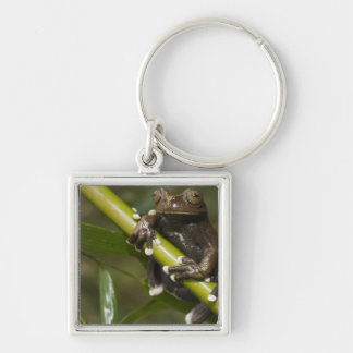 Captive Tapichalaca Tree Frog Hyloscirtus 2 Key Chain